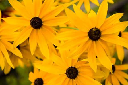Flowering Black Eyed Susan Single Flower Perennial. Nature close-up.