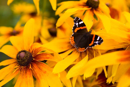 Beautiful red admiral butterfly sits on a flower close-up. Macro.