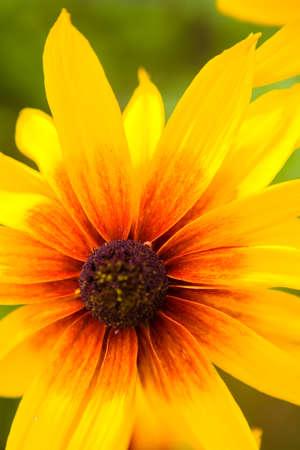 Beautiful flower BLACK EYED SUSAN SEEDS or Rudbeckia hirta. A closeup of nature.
