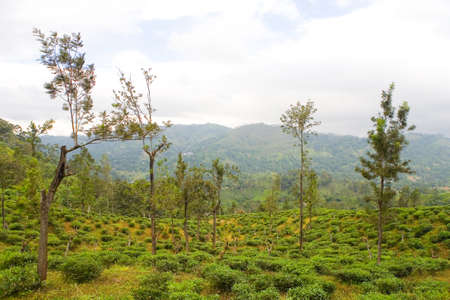 Planting tea in Sri Lanka in cloudy weather. Agriculture. 免版税图像