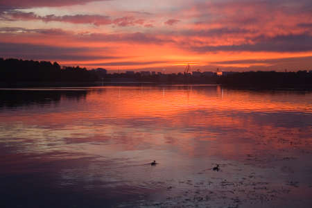 Ducks swim at dawn on the Moscow River. Urban nature.