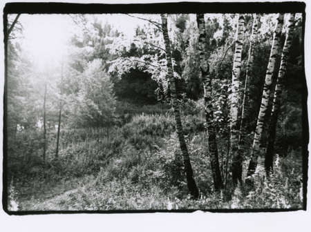 Several birches in a summer forest in the backlight. Attention! Image contains graininess and other analog photography artifacts!