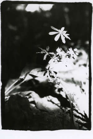 Retro style black and white photograph of a flower. Attention! Image contains graininess and other analog photography artifacts!