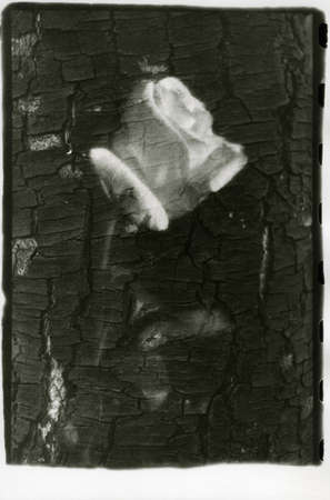 Rose and birch bark in one shot. Attention! The image contains grain and other artifacts from analog photography! 免版税图像 - 155538968