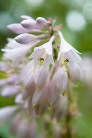 The delicate hosta flower is photographed in close-up. Macro.