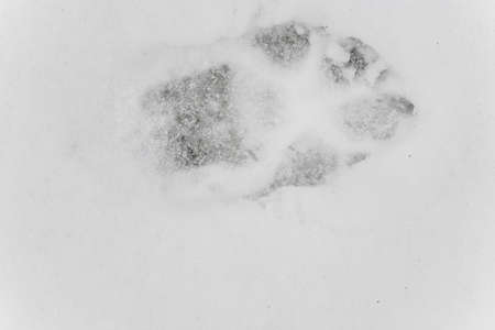 The footprint of a dog's paw in the snow. Close-up.