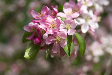 Apple tree blossoming by pink flowers in the spring Stok Fotoğraf - 13354894