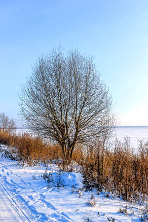 Lonely tree ashore in the winter against the clear sky