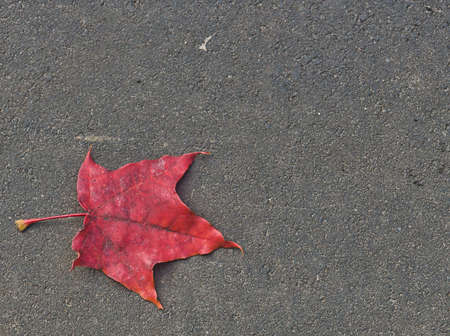 The lonely red maple leaf lies on the road Stok Fotoğraf