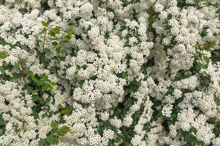 The ornamental shrub of Spirei Vangutta plentifully blossoms in the spring