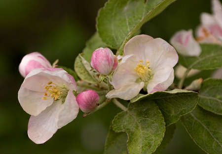 branch of the blossoming apple-tree in the spring