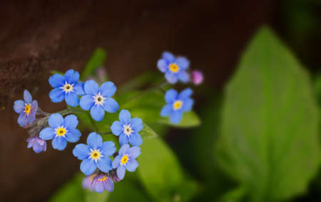 spring flowers of a forget-me-not with green leaves Stok Fotoğraf
