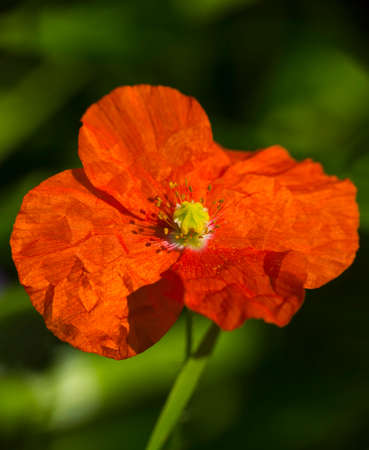 Red poppy on a green background in the spring