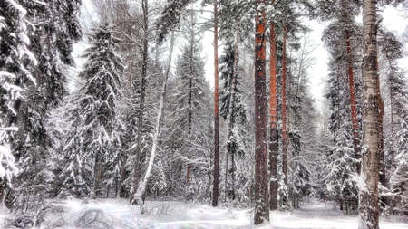 Winter forest in a snow attire Stok Fotoğraf