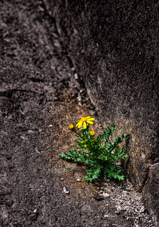 the flower has sprouted through stone a laying and blossoms in the spring