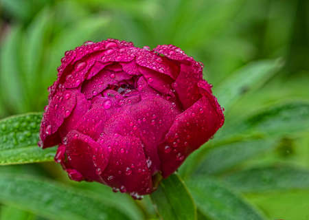 Red flower of a peony in rain drops in the summer  Stok Fotoğraf