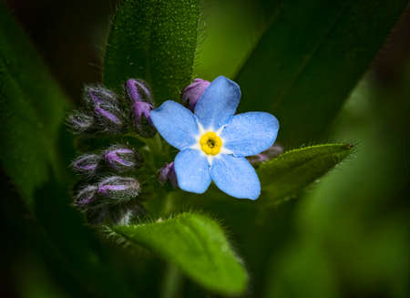 delicate field blue flower of a forget-me-not in the spring