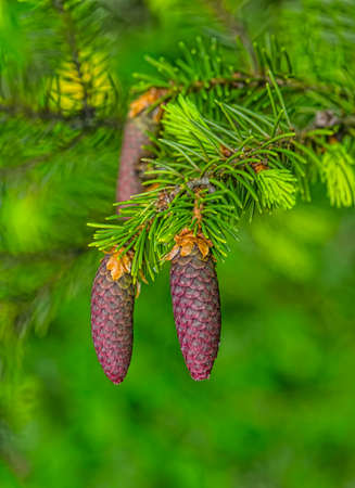 Young fir cones in the spring on a green background Reklamní fotografie