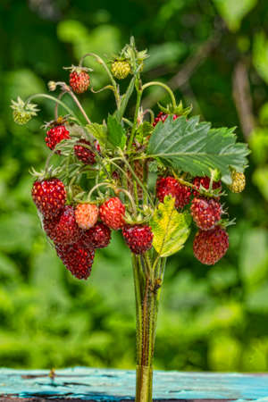 bouquet of wild strawberry on a green background Stok Fotoğraf - 111891115