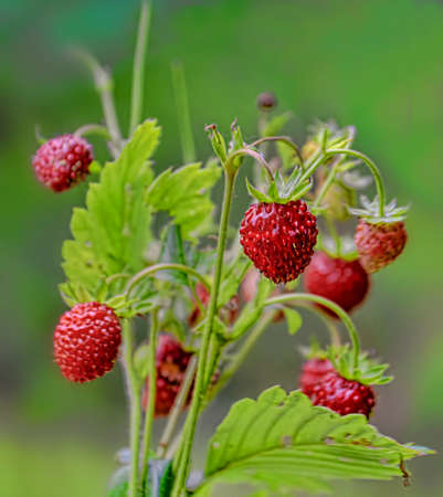 bouquet of wild strawberry on a green background
