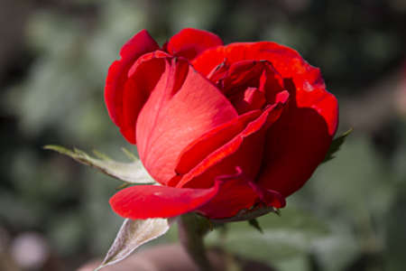 grew: Bardovaya, Grew, Red, Buds, Rosa,  Red roses, Buket, Valentina, Debutante, Map  Stock Photo