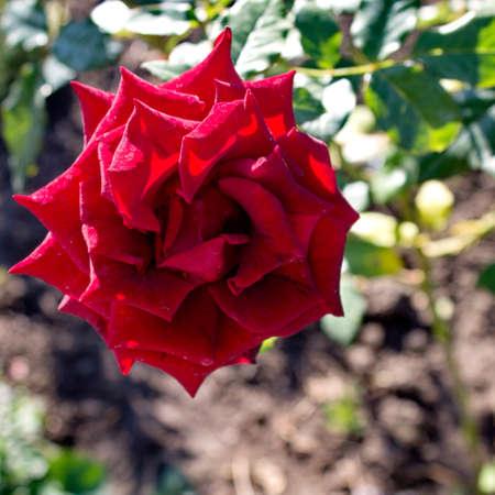debutante: Bardovaya, Grew, Red, Buds, Rosa,  Red roses, Buket, Valentina, Debutante, Map. Stock Photo