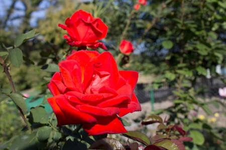 grew: Bardovaya, Grew, Red, Buds, Rosa,  Red roses, Buket, Valentina, Debutante, Map. Stock Photo
