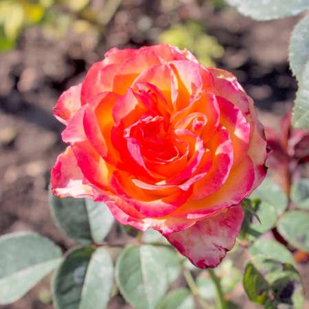 roses rouges: Bardovaya, Grew, Rouge, les bourgeons, Rosa, roses rouges, Buket, Valentina, D�butante, Carte.