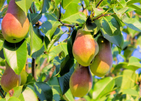Pear, Tree, Liszt, Garden, Flora, Tasty, Is, Food, Green, Shot.