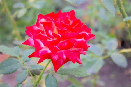 rosas rojas: Rosas rojas.