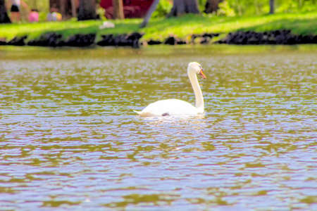 Swans swimming in a lake. Stock Photo