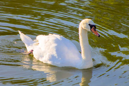 Swan swimming in a lake.