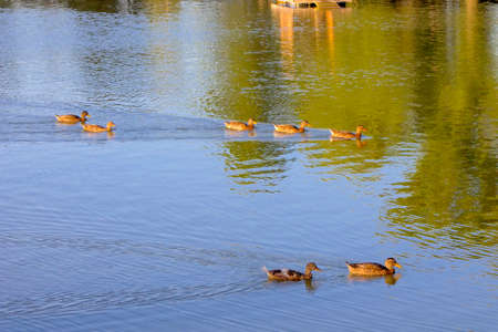 Image of a duck floating in a park reservoir. Stock Photo