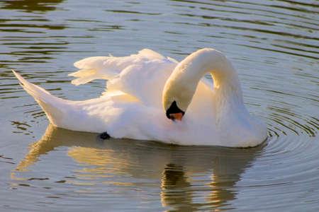 White, nature, swan, water, bird, natural, orange, animal, beautiful, feather.