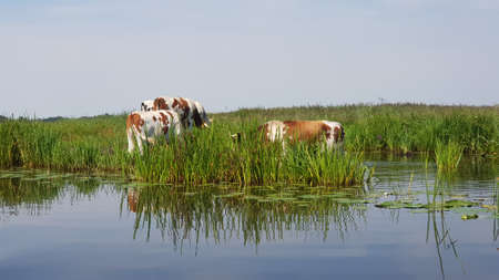 Cows on the swamps