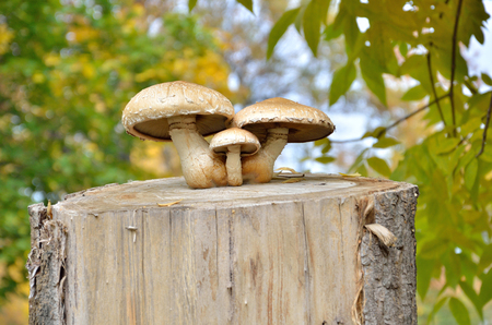 Three mushrooms on a stump in autumn on a background of leaves