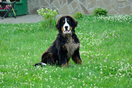 The one dog sits in the green grass near house Stock Photo