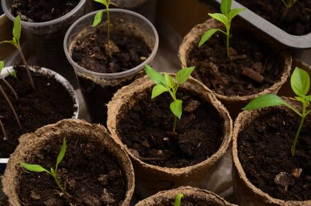 peat pot: The small sprouts of Bulgarian pepper in round peat pots
