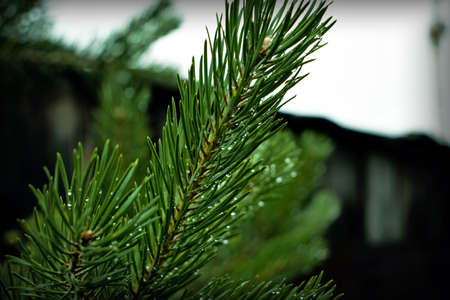 Branch spruce with water drops