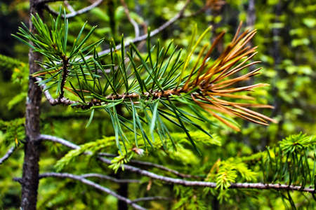 pine tree branch with yellowed needles
