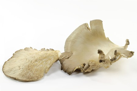 Still life picture of organic mushroom Oysters top side and bottom side with spores over white background.  photo
