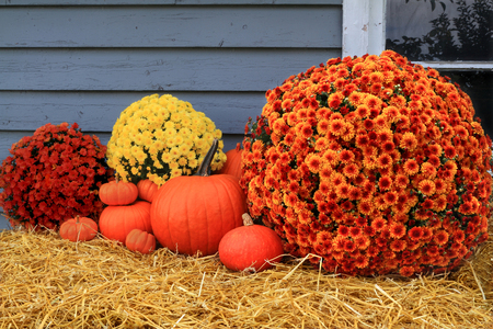 Samenstelling van verschillende maten oranje pompoenen en mama val bloemen met verschillende kleuren oranje, geel, rood over hooi als decoratie van de oude schuur voor de viering van de Oogst en Thanksgiving dag