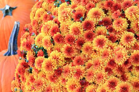 Thanksgiving, autumn (fall) and harvest symbols. Fall colorful orange red Mums (flowers) and blurred orange pumpkins on background