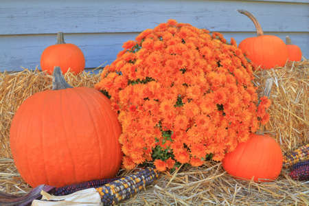 Picture of typical for Fall holiday, Thanksgiving and Harvest decoration from pumpkins, corn (maize), Bails of Hay and colorful Autumn mums arranged as decoration