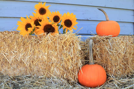 Decoration for Harvest and Thanksgiving from Bales of Hay, Bouquet Sunflowers and Orange Pumpkins with long stem in front of gray wooden wall Stock Photo