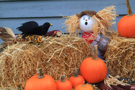 Humorous Thanksgiving picture - scarecrow dolls guarding pumpkins and corn, surprised from crow eating (picking) seeds from maize (corn on knob) he has very surprise expression on face Stock Photo