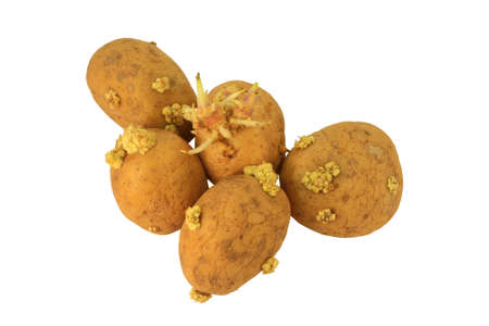 Picture of Yellow Sprouted potatoes that have grown roots from eyes, they are mostly shrunken and wrinkled. Roots have different sizes, colors, and shapes and they are not good to be eaten