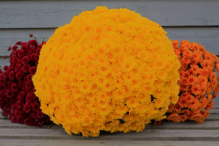 Colorful Thanksgiving bucket from different colors fall (Autumn) Mums (Flowers) very suitable for decoration when celebrating harvest, Thanksgiving or fall Stock Photo