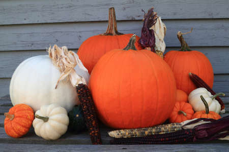 Typical symbols for Fall, Autumn season and Thanksgiving and Harvest celebration, big orange and white pumpkins, squashes, Indian corn (maize). Picture can be used as background