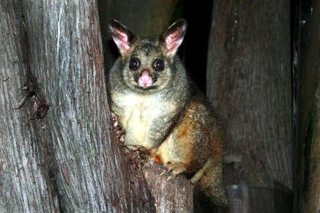 Australia common brushtail possum